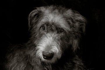 Irischer Wolfshund von Stephen Young