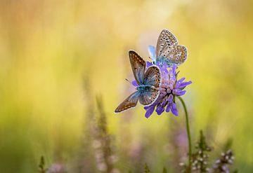 L'Argus bleu, Azuré commun ou Azuré de la Bugrane sur Gonnie van de Schans