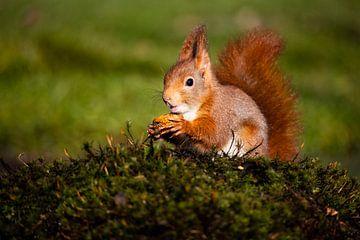 Rode eekhoorn geniet van een walnoot in de lentezon van Robin Scholte