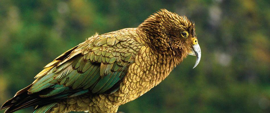 Kea Papegaai in Nieuw Zeeland - Close-up