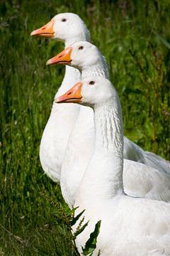 Drie ganzen van Remke Spijkers