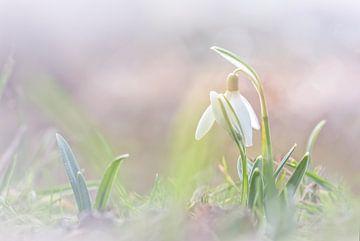 Brüderliche Schneeglöckchen von Arja Schrijver Fotografie