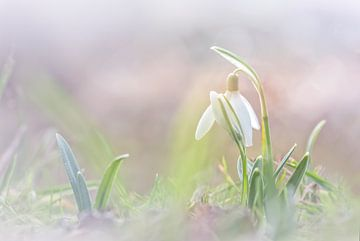 Engagement des perce-neiges sur Arja Schrijver Fotografie