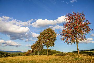 Baumreihe mit Vogelbeeren im Taunus, Niedernhausen von Christian Müringer