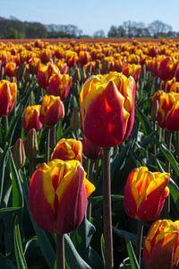 Bollenveld met rood-gele tulpen.