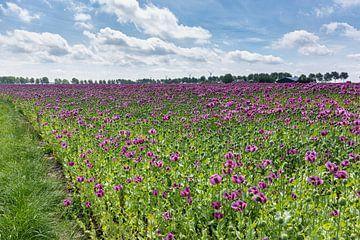 Een veld met paarse papaverbloemen van Arie Storm