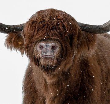 Schotse Hooglander in een sneeuwbui van Marjolein van Middelkoop