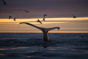 Een walvis duikt onder terwijl de Midzomernachtzon de hemel warm kleurt van Koen Hoekemeijer