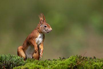 Rotes Eichhörnchen von Martin van der Kruijk