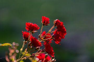 roses rouges sur