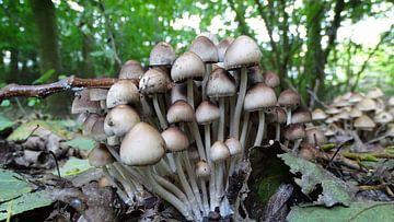 paddenstoel von Foto Shooter