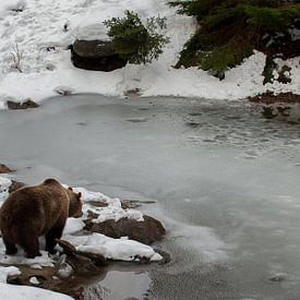 Braunbär am Wasser von Monique Pouwels