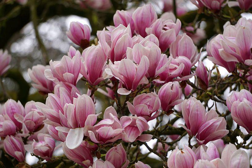 Magnolia van Ineke Klaassen