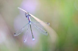 Libelle van Lucia Kerstens