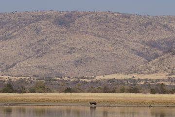Nijlpaard / Hippo, Pilanesberg, Zuid-Afrika von Maurits Bredius