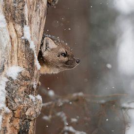 Martre / Martre des pins / Martre des épicéas ( Martes americana ) regarde de sa tanière dans un vie sur wunderbare Erde