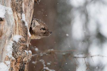 Marten / Pine Marten / Spruce Marten ( Martes americana ) kijkt uit zijn hol in een oude boom, wilde van wunderbare Erde