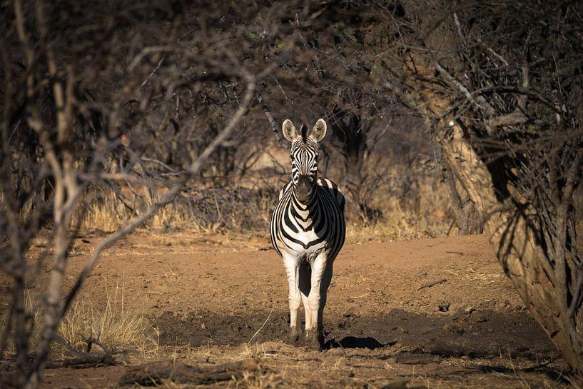 zebra van Ed Dorrestein