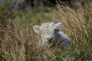 Schotse Hooglander verstopt in het gras van Marc van Tilborg