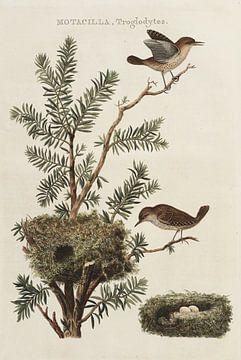Motacilla Troglodytes - Winterkoninkje, van Nederlandsche Vogelen, Cornelis Nozeman van Teylers Museum