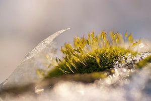 Haarmosjes tussen het ijs in de winter