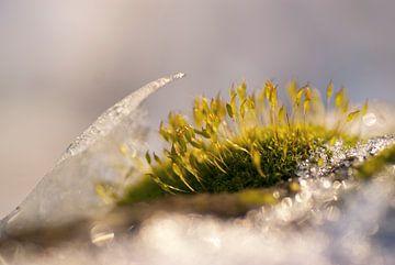 Haarmosjes tussen het ijs in de winter van Birgitte Bergman