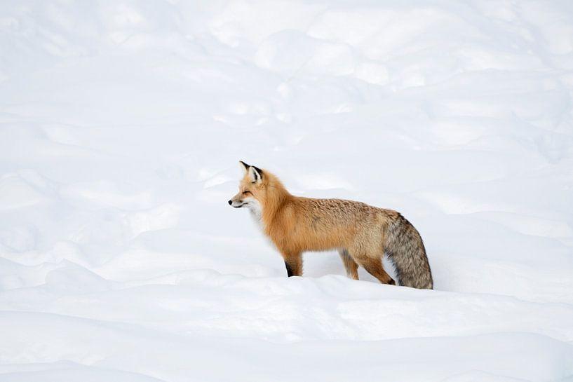 Fuchs, Rotfuchs ( Vulpes vulpes ) im Winter, in frisch gefallenem Schnee, Yellowstone NP,  USA. von wunderbare Erde