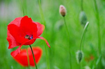 Poppies von Jessica Berendsen