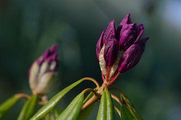 rododendron beginnende paarse knop van Jeffry Clemens