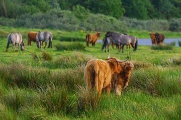 Schottische Hochlandbewohner auf Frühlingsreise von Dirk van Egmond