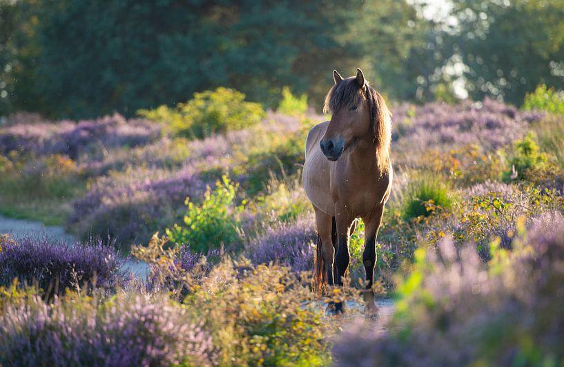 Wild IJslands paard op de Posbank van Ronne Vinkx