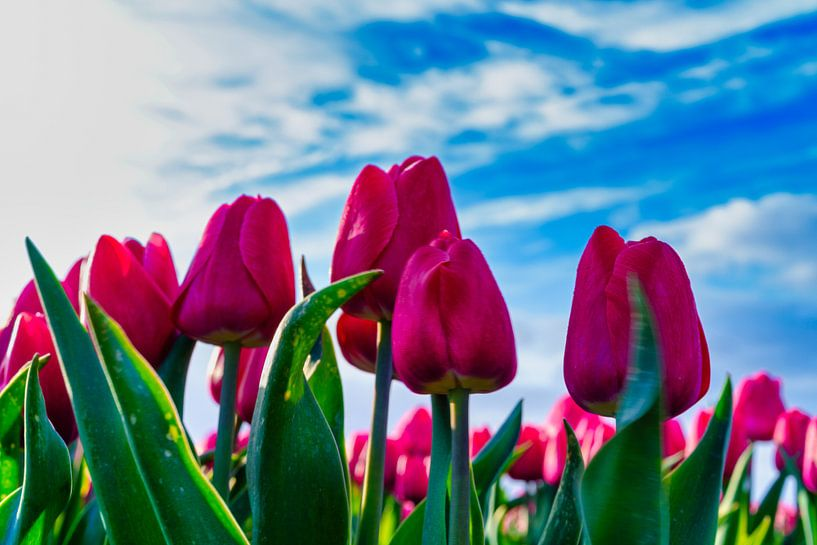 Bloeiende rode tulpen van Photo Henk van Dijk