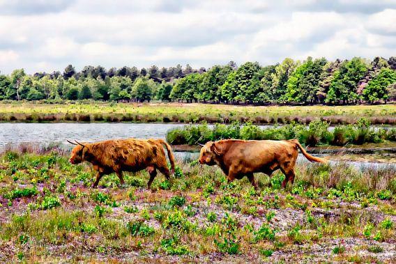 Paar Schotse hooglanders