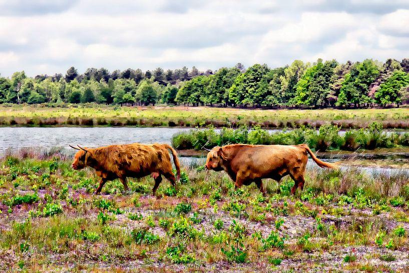 Paar Schotse hooglanders van Carin Klabbers