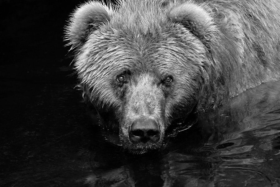 Curious bear van Jasper van de Gein Photography