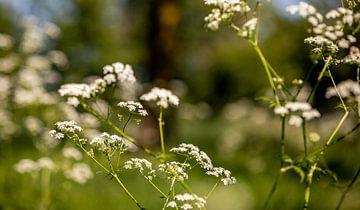 Nahaufnahme Pfeifenkraut Blumenfeld von Percy's fotografie