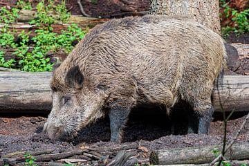 Das Wildschwein. 1 des Ferkels 5 der Niederlande von Merijn Loch