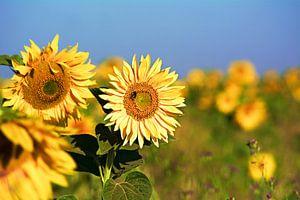 Sunflower van