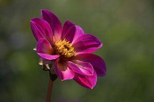 Eenzame roze bloem van Lizet Wesselman