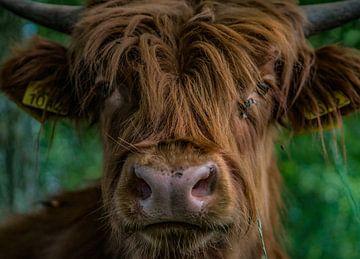 Close up Schotse Hooglander Vlaardingen van Michael van der Tas