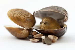 Compositie van schelpen