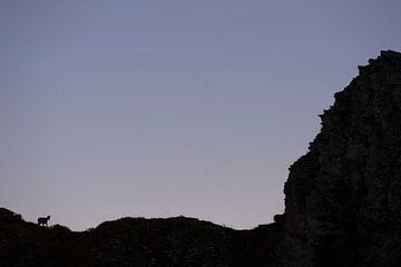 Gämse (Rupicapra rupicapra), Scherenschnitt, Silhouette einer Gams auf einem Berggrat am frühen Morg von wunderbare Erde