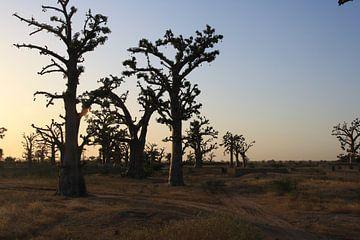 Baobabs bij zonsondergang von Mr Greybeard