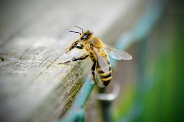 Honigbiene von A VH