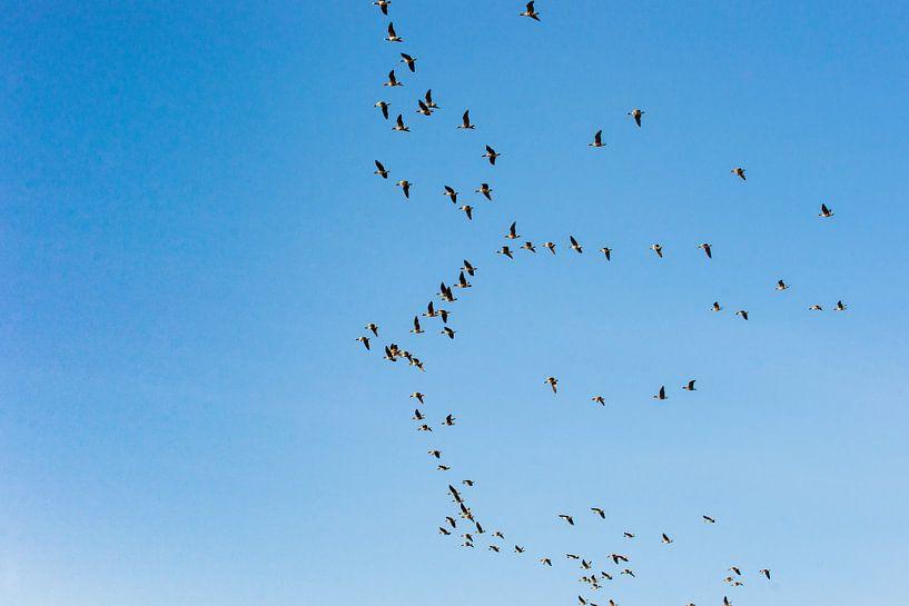 Vliegende ganzen tijdens de vogeltrek van Fotografiecor .nl