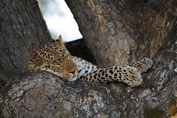 Slapende jong luipaard. van Anjo Schuite