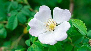 Witte bloem von Barry van Rijswijk
