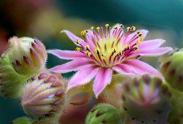 Sedum met klein roze bloemetje van Rietje Bulthuis