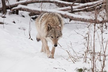 Rustig en gevaarlijk gaat. Beestenjacht prooi snuift. Grijze wolf vrouwtje in de sneeuw, mooi sterk  van Michael Semenov