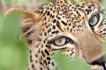 Leopardenaugen von Jos van Bommel